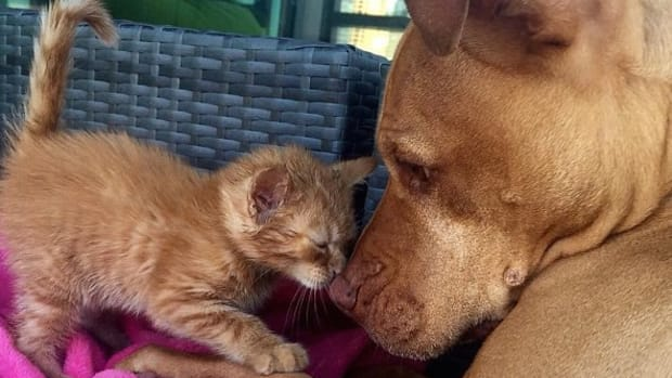 Pit Bull And Kitten Become Fast Friends  Promo Image