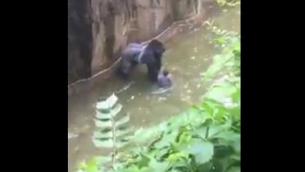 Boy Crawls Into Gorilla Pit, Zoo Kills Gorilla (Video) Promo Image