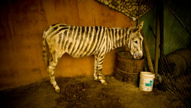 a zebra (stock image)