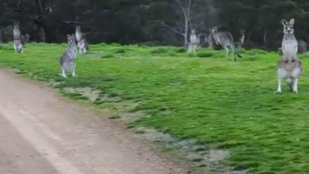 KangarooCyclists.jpg