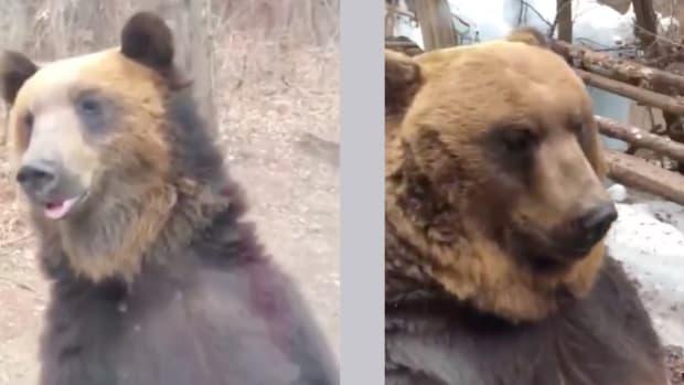 Brown-Bear-On-Hind-Legs
