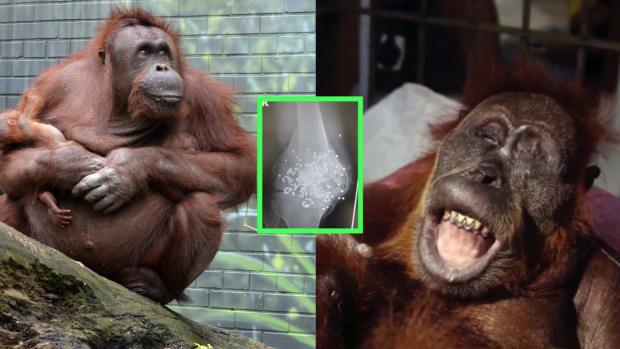 Orangutan-Shot