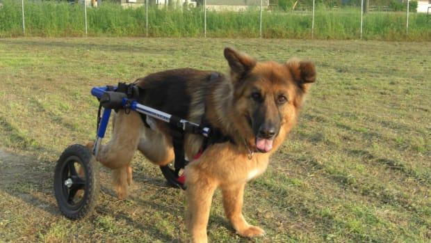 Wheelchair-Dog