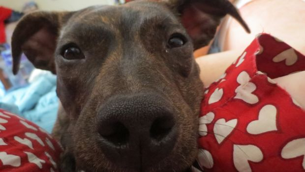 Pit Bull Will Do Whatever It Takes For Some Food (Video) Promo Image