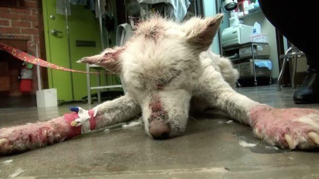 Abandoned Husky Makes An Incredible Comeback (Video) Promo Image