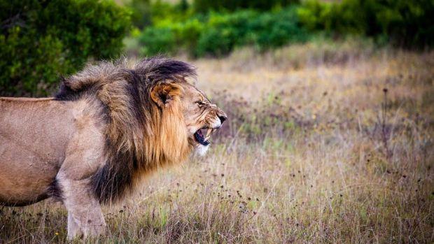 Big Cat Poacher Killed By Lions Promo Image