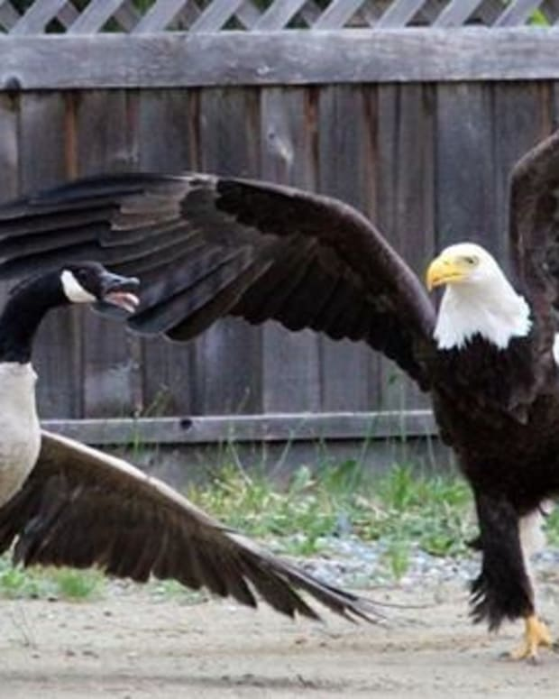 Battle Of The Birds: Bald Eagle Vs. Canada Goose (Video) Promo Image