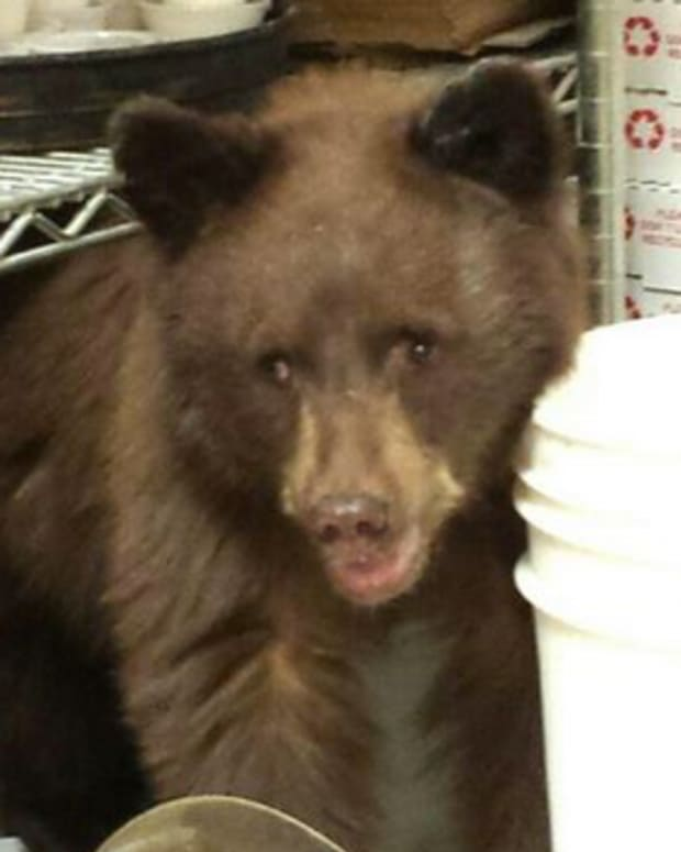 Bear Cub In Pizzeria.