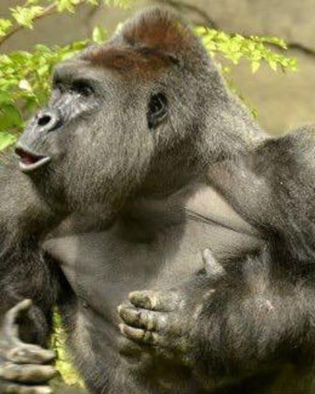 Police Investigating Harambe The Gorilla's Death Promo Image