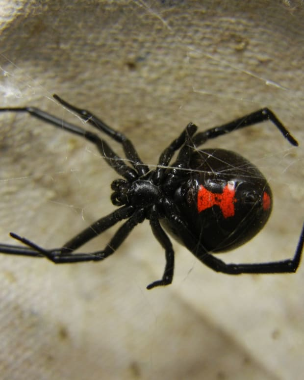 are black widow spiders deadly - 620×775