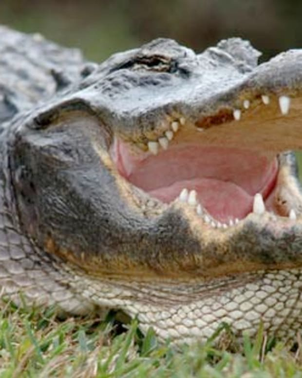 Police Find Alligators Eating Dead Body Promo Image