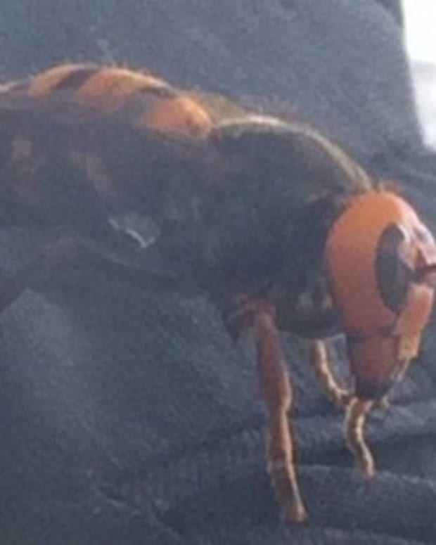 Woman Finds Giant Asian Hornet In Her Closet Promo Image
