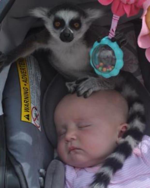 731430.0.lemur_.jpg