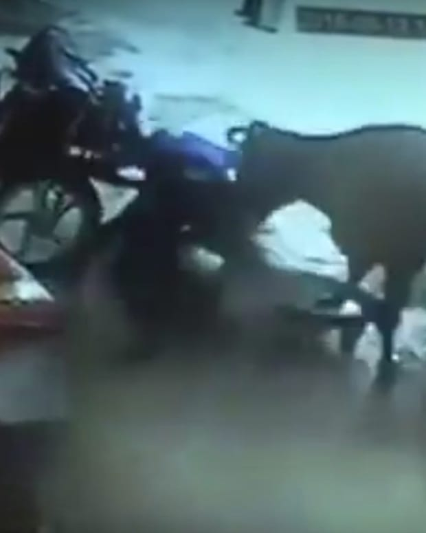 Cow Attacks Men During 'Honor Killing' Of Girl (Video) Promo Image