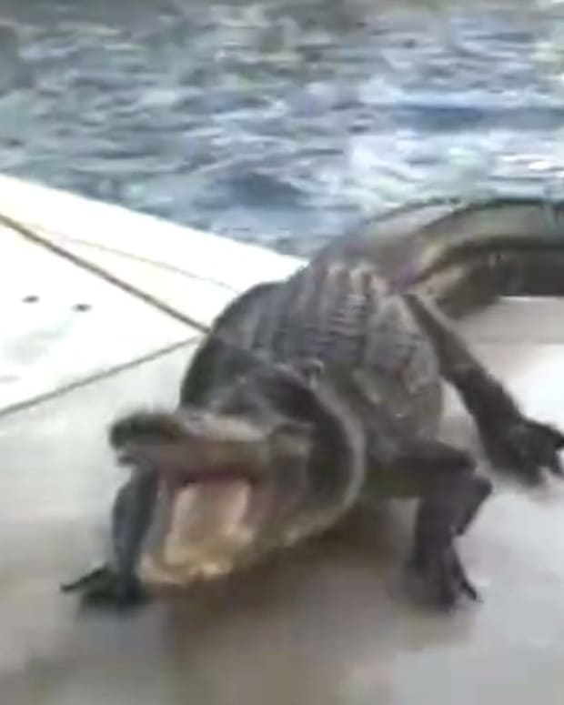 9-Foot Alligator Found In Florida Swimming Pool (Video) Promo Image