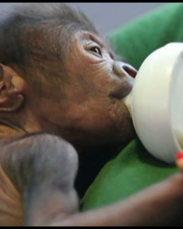 Gorilla Born Via Rare Cesarean Section At Zoo (Video) Promo Image