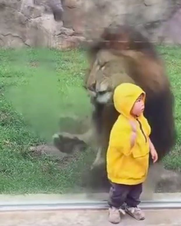Lion Tries To Eat Child At Zoo, Runs Into Wall (Video)  Promo Image