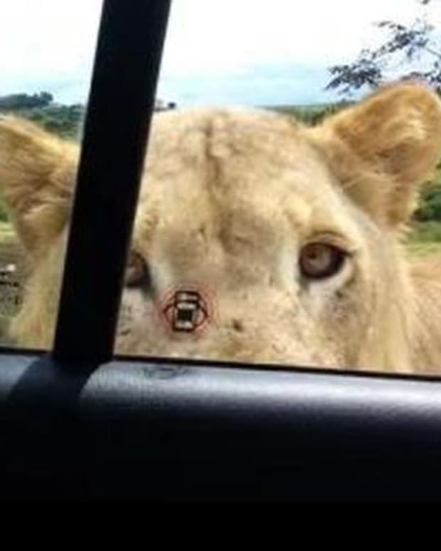 Video Of Tourist's Horrifying Safari Encounter Quickly Goes Viral (Video) Promo Image