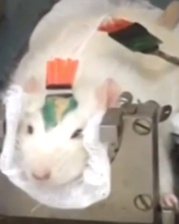 rat being implanted with microchip