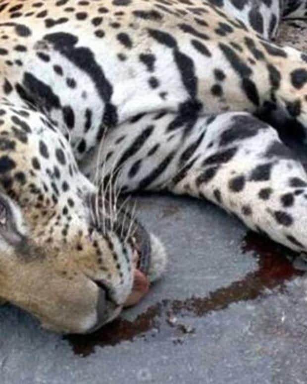 Endangered Jaguar Killed After Olympic Ceremony Promo Image