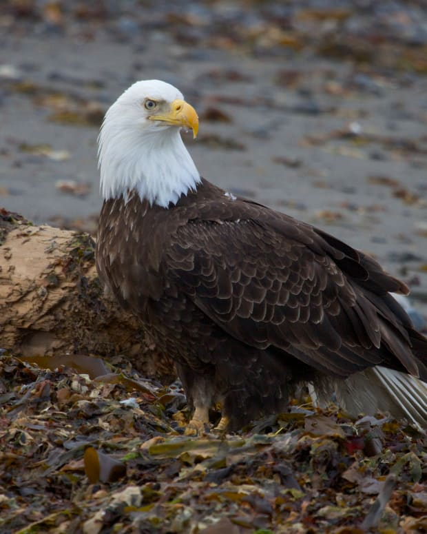 Bald Eagle Found Shot To Death (Photo) Promo Image