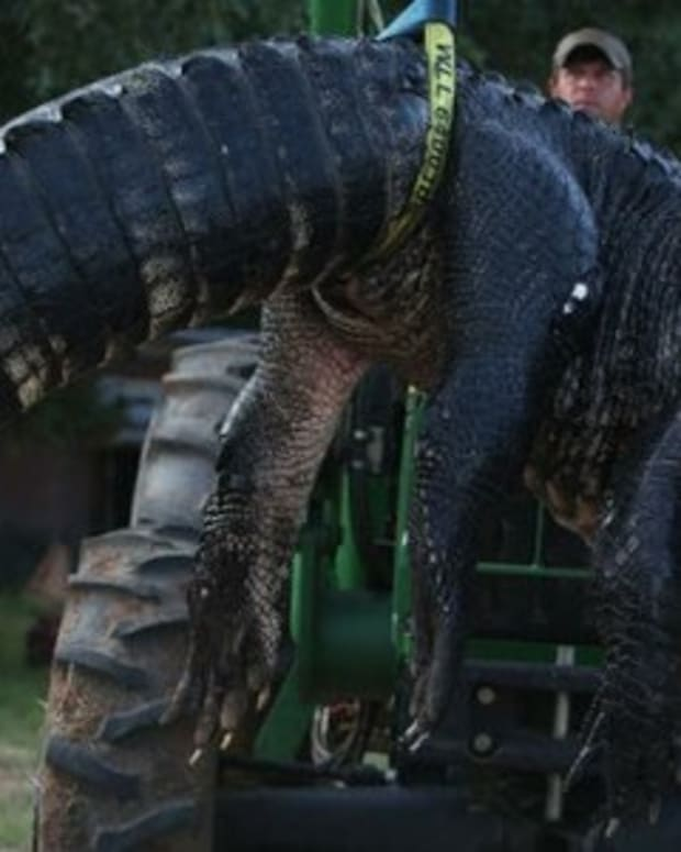Surprising Discovery Made Inside 15-Foot Gator (Photos) Promo Image