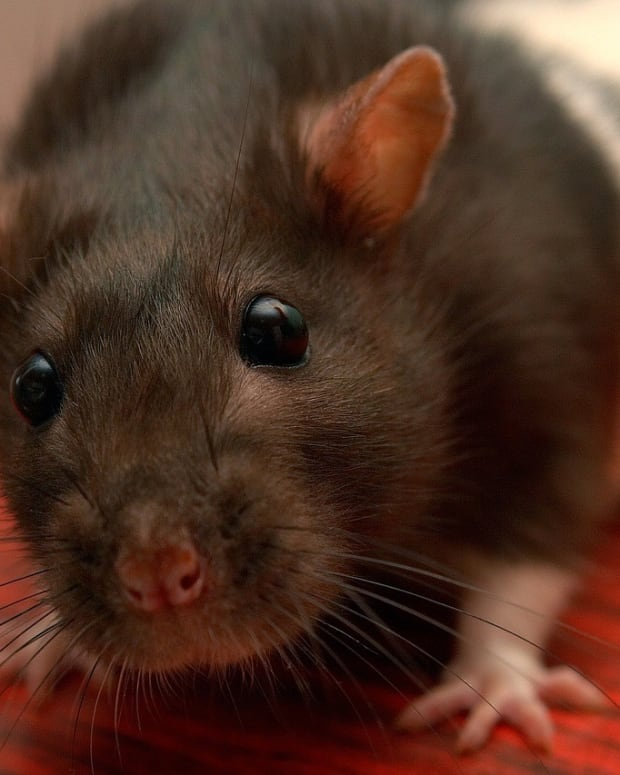 Boy Dies From Diseased Pet Rat, Parents Sue Store (Photo) Promo Image
