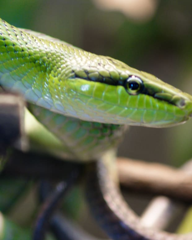 Mom Won't Face Charges For Letting Snake Bite Baby Promo Image