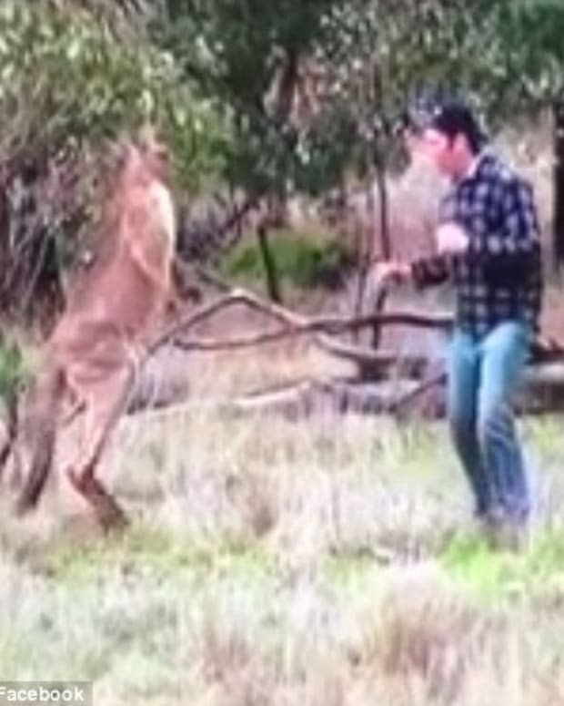 Man Punches Kangaroo In The Face (Video) Promo Image