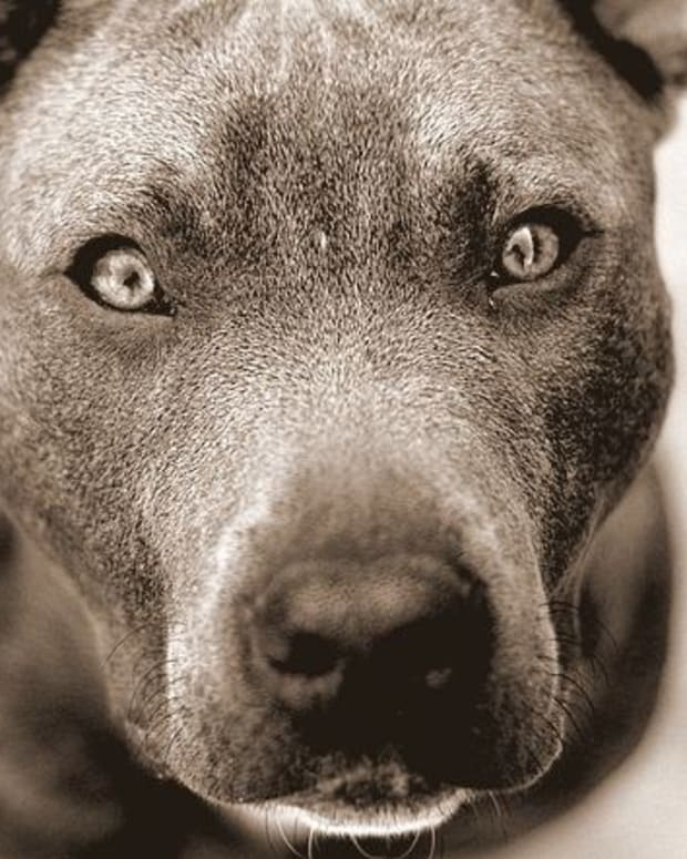 Pit Bull Kills Small Dog In Front Of Horrified Owner (Video) Promo Image