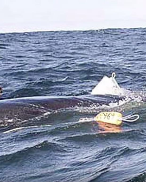 Whale Reportedly Thanks Man For Saving Him (Video) Promo Image