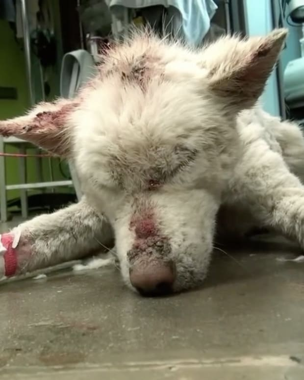 Abandoned Husky Makes An Incredible Comeback (Video) Promo Image