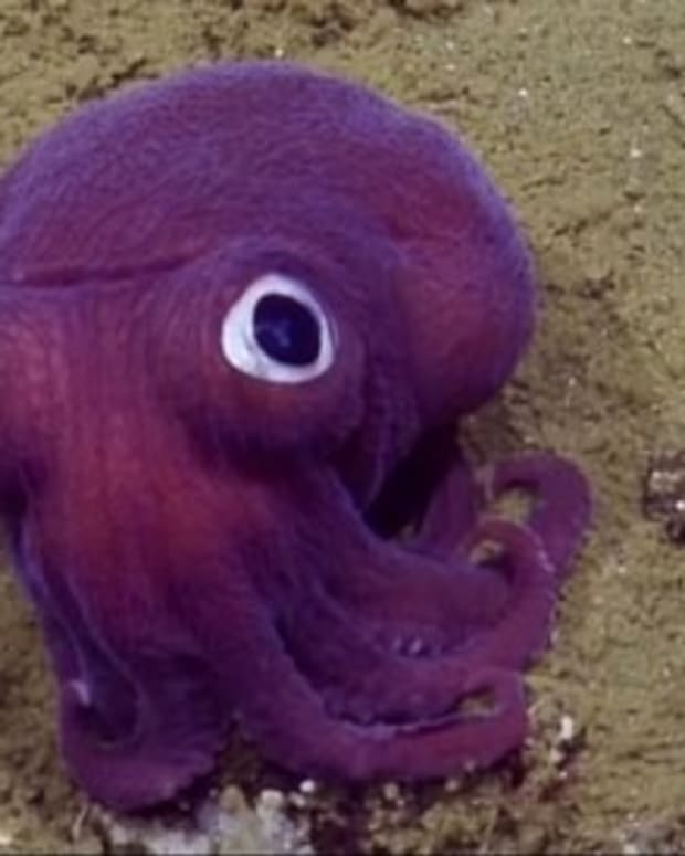 Googly-Eyed Squid Spotted Off California Coast (Video) Promo Image