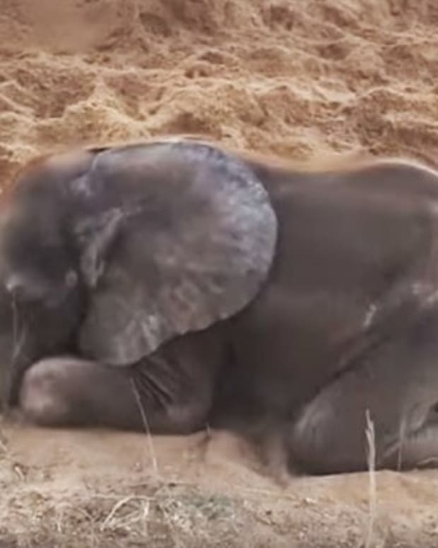 Dog And Baby Elephant Become Best Buddies (Video) Promo Image