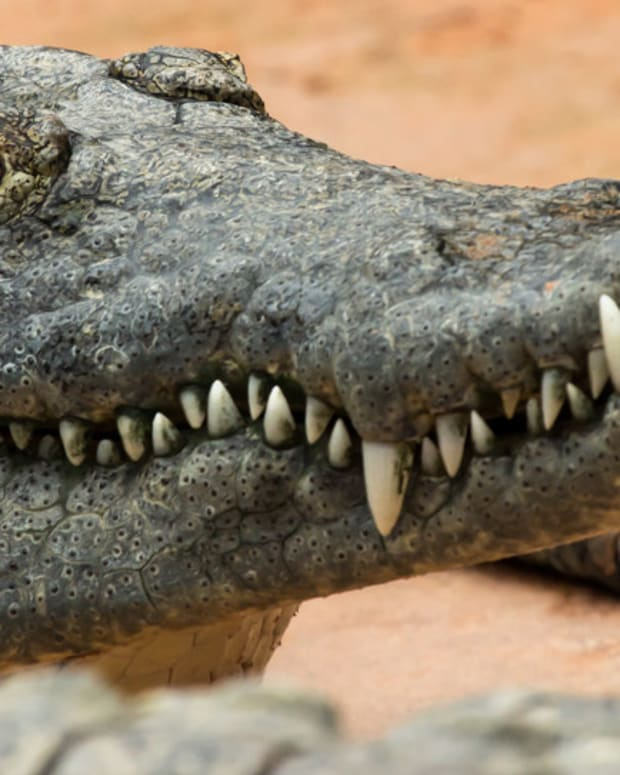 Man Puts Head In Crocodile's Mouth, Gets Bit (Video) Promo Image