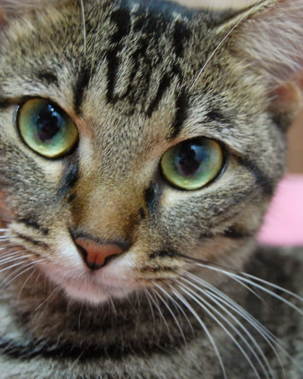 Cat-Killing Disease Spreads In Oklahoma, Owners Warned Promo Image