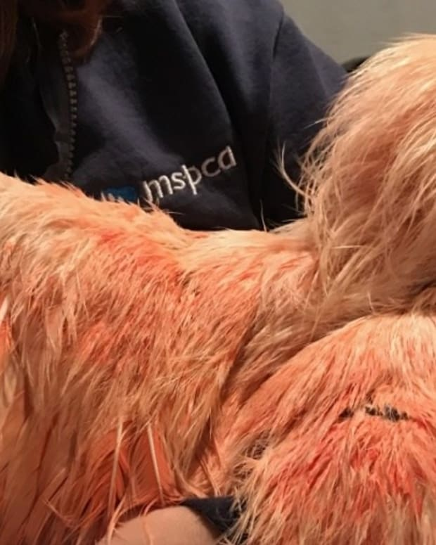 Woman Finds Rooster Painted Orange On Busy Road Promo Image
