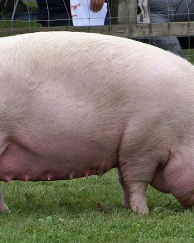 Pig Kills Drunken Farmer In Bloody Brawl Promo Image