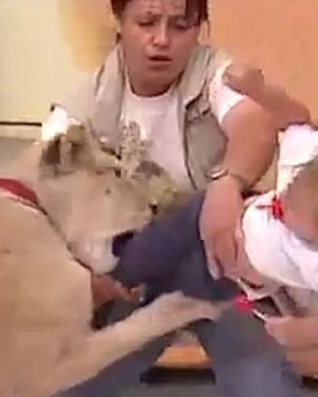 Lion Attacks Baby On Live TV (Video) Promo Image