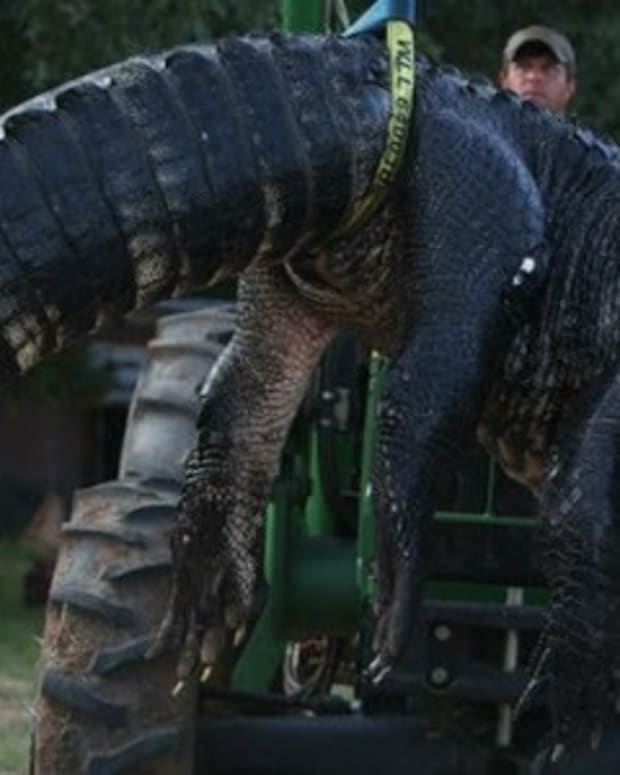 Surprising Discovery Made Inside Massive 15-Foot Gator (Photos) Promo Image