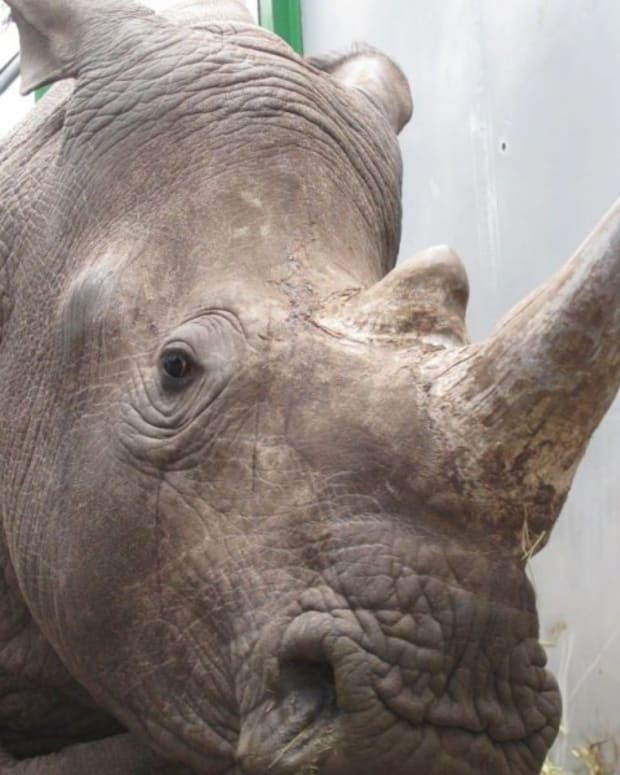 Poachers Shoot Rhino Dead In Parisian Zoo, Steal Horn Promo Image