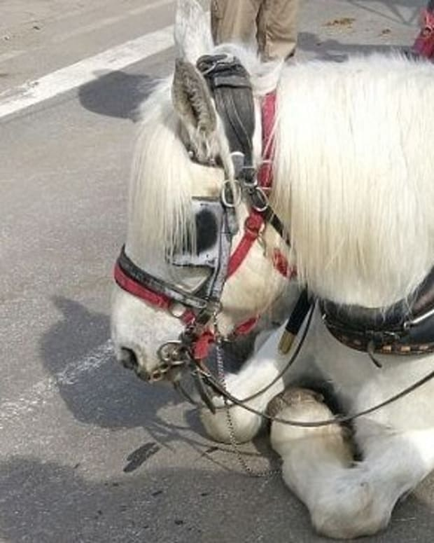 Carriage Horse Collapses In New York City (Photo) Promo Image