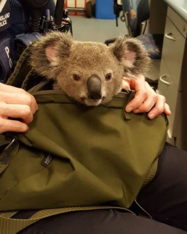 Australian Police Arrest Woman, Find A Koala In Her Bag Promo Image