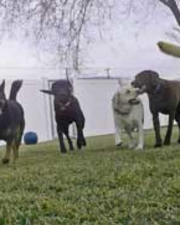 Patient Pack Of Dogs Get Called One-By-One To Eat (Video) Promo Image