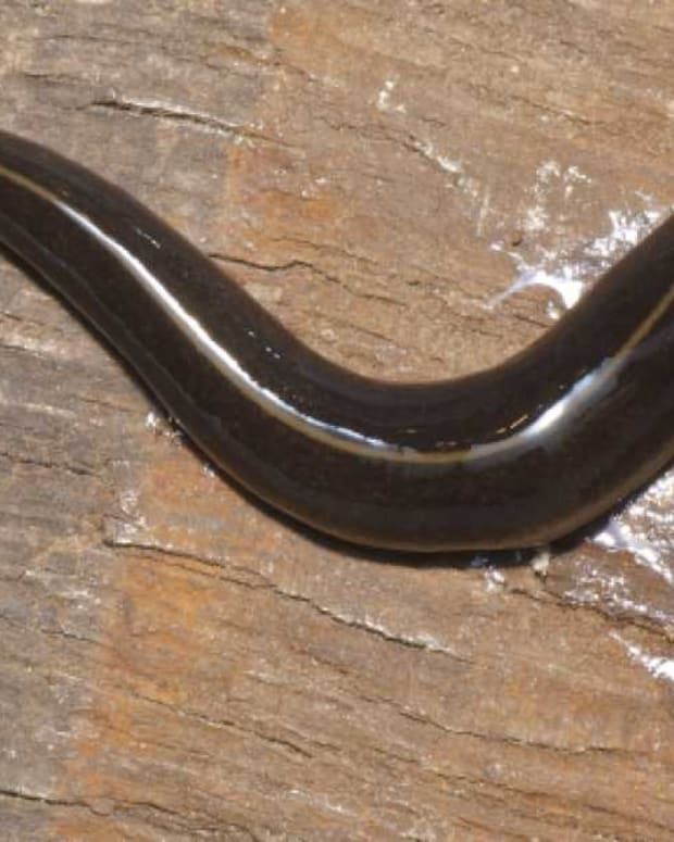 Dangerous Flatworm Found In Florida (Photo) Promo Image