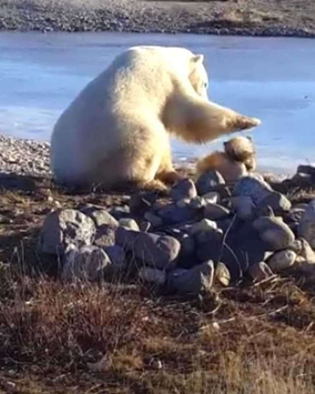 Adorable Polar Bear Petting Dog Story Takes Dark Turn (Video) Promo Image