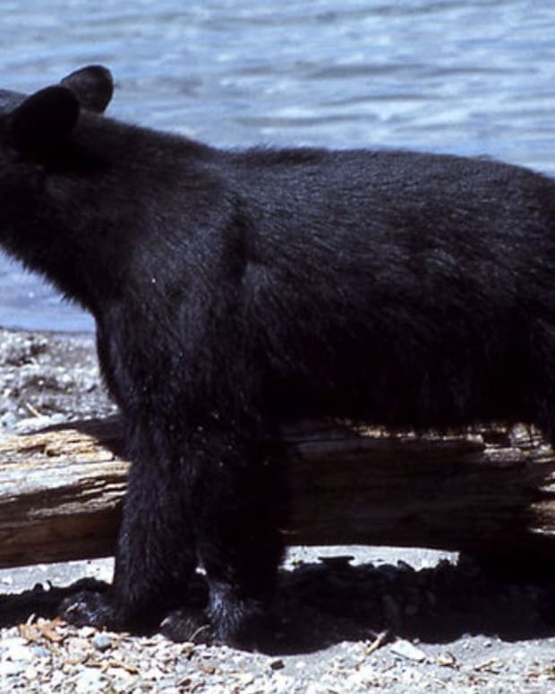 Bow Hunter Attacked By Black Bear (Video) Promo Image