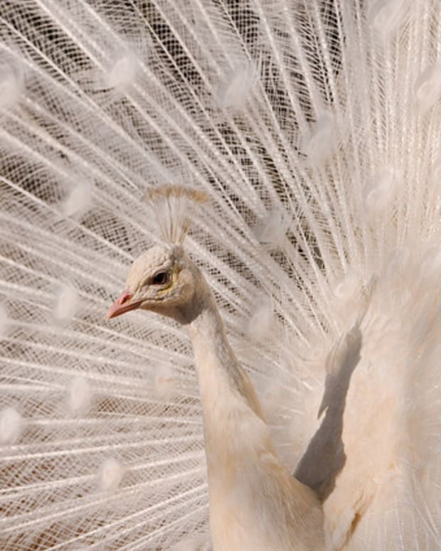 Peacock Surprises Viewers With Stunning Feather Display (Video) Promo Image