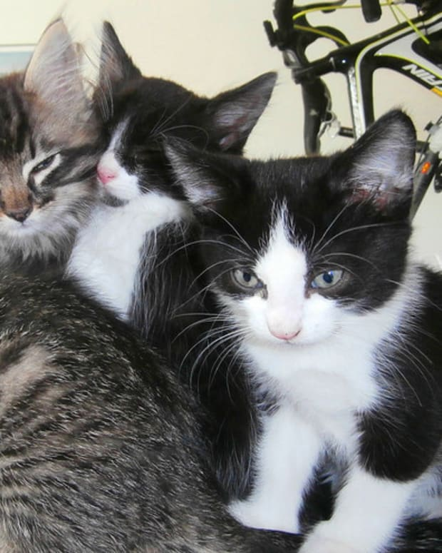 Cat Introduces Her Kittens To An Old Friend (Video) Promo Image