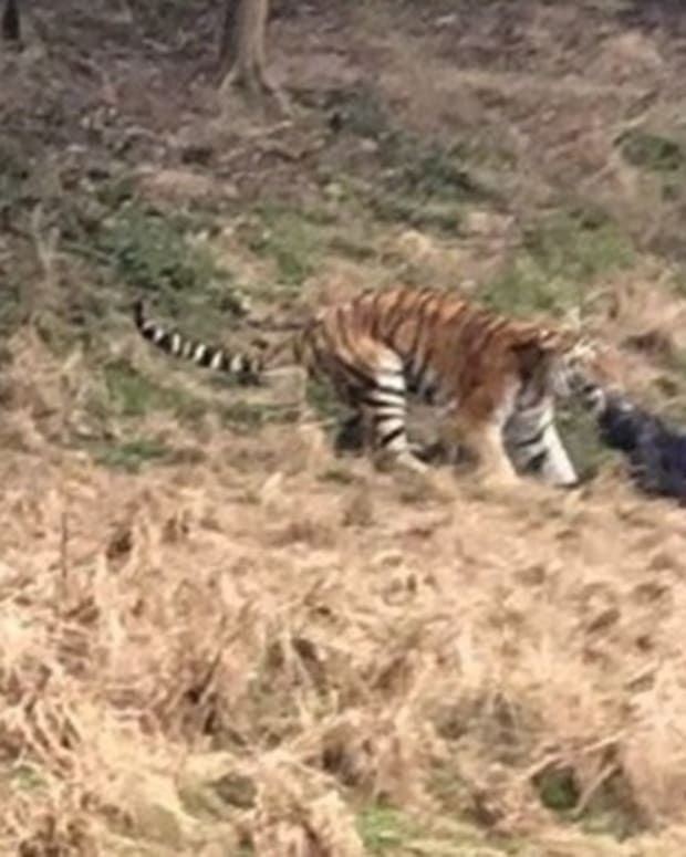 Man Mauled To Death By Tiger At Zoo (Video) Promo Image